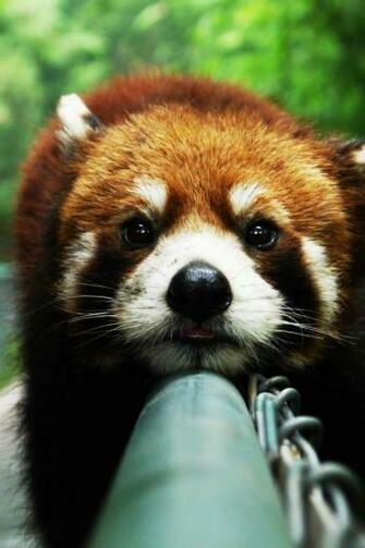640x960 Cute Red Panda Iphone 4 wallpaper