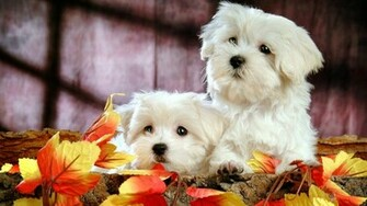 Cute Puppies Wallpapers   9444