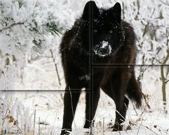 Black Wolf Wallpaper