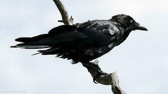 raven australian bird hd widescreen wallpaper birds backgrounds