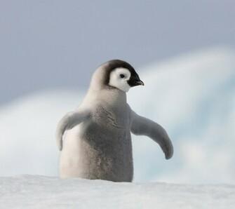Cute Baby Penguins   Babes HD Wallpaper