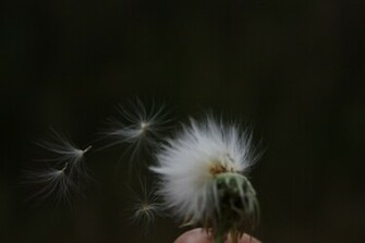 Hd Wallpapers Blowing Dandelion Wind 1280 X 720 221 Kb Jpeg HD