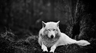 White Wolf Wolves Exclusive HD Wallpapers 2678