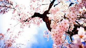 HD Wallpapers Landscape Images Sakura Fresh Airtree