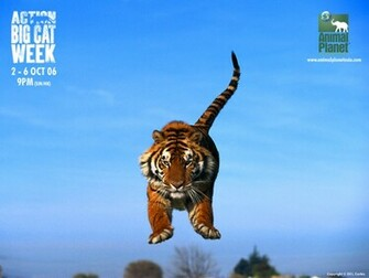Animal Planet Tiger Asbqolbmeg 1024x768 pixel Popular HD Wallpaper