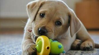 FileLabrador Retriever yellow puppyjpg   Wikipedia   m5xeu