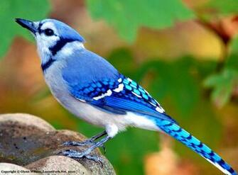 Blue Jay wallpaper for mobile Birds Wallpaper Blue Jay