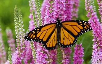 13 Monarch Butterfly HD Wallpapers Background Images   Wallpaper