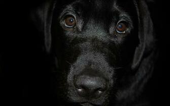 Wallpaper black labrador dog muzzle nose eyes desktop wallpaper