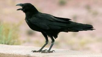 raven chihuahuan corvus cryptoleucus bird hd widescreen wallpaper