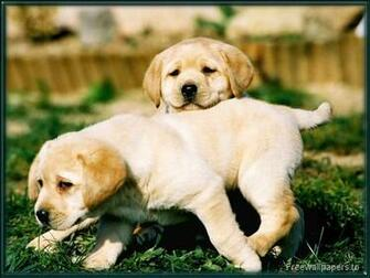 Yellow Lab Puppy Wallpaper 1