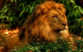 30 Amazing HD Lion Wallpaper