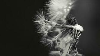 Dandelion Black And White Wallpaper Dandelion black and white