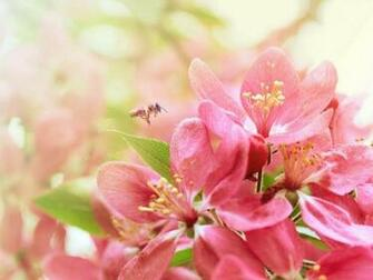 Bee Pink Heaven Flowers Nature Background Wallpapers