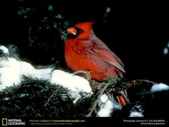 Cardinal Picture Cardinal Desktop Wallpaper Wallpapers