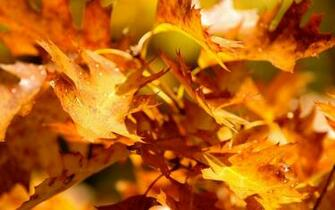 Wallpaper Autumn Leaves
