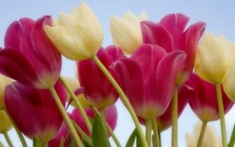 Tulip flower wallpapers full HD 25601600 FREE HD WALLPAPER FOR
