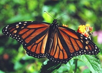 Monarch Butterfly 23 Desktop Background Wallpaper
