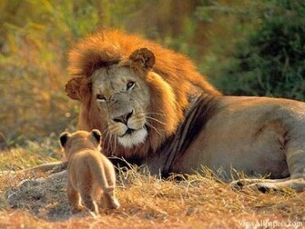 Animal Planet Lion And Cub High Resolution download Animal