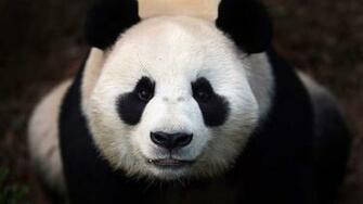 Sad Panda Bear   Viewing Gallery