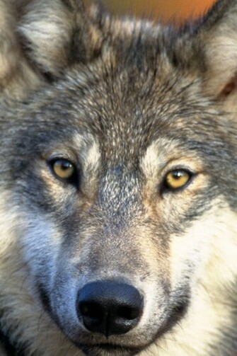 Gray Wolf Wallpaper Ipad wallpaper gray wolf