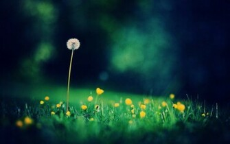 hd dandelion desktop background hd dandelion desktop background