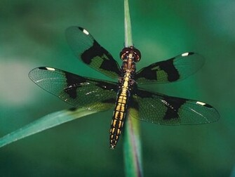 dragonfly wallpaper new dragonfly background new dragonfly