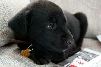 Black Lab Puppy Wallpapers Black Lab Puppy Wallpapers For