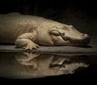 white alligator wallpaper   ForWallpapercom