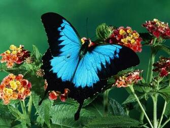 Blue butterfly wallpaper Funny Animal