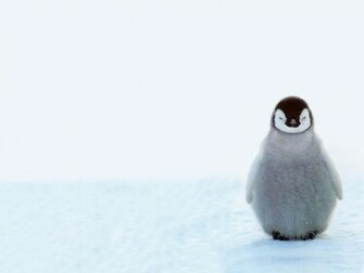 Cute Baby Penguins 10578 Hd Wallpapers in Animals   Imagescicom