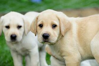 years ago For Sale Dogs Labrador Retriever Birmingham
