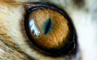 Wallpapers Animal   Eye of The Tiger