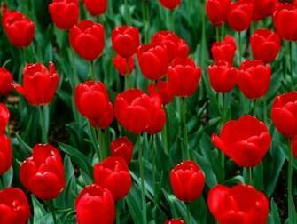 flowers for flower lovers Red tulips desktop wallpapers