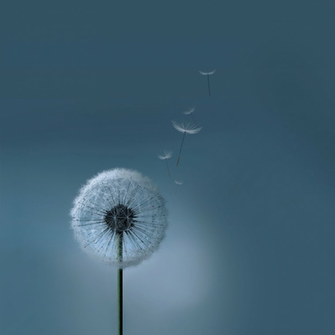 Samsung Galaxy SIII S3 Dandelion Wallpaper by kingwicked