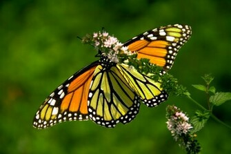 Monarch Butterfly 1 Hd Wallpaper Wallpaper