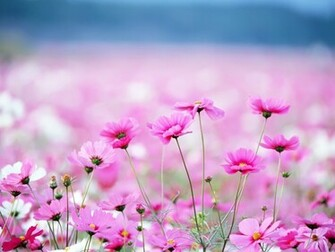 Spring Pink Flower   Wallpaper High Definition High Quality