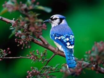 Blue Jay bird PC Wallpaper HD Wallpaper