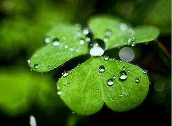 wet clovers wallpaper wet clovers wallpaper