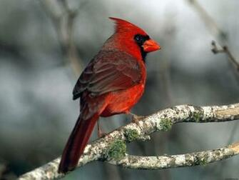 Cardinal Wallpapers HD Wallpapers