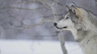 Image   Gray wolf in snow tweet hd wallpapers animals photo gray wolf