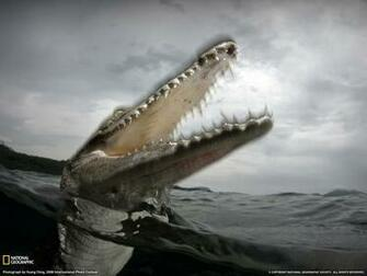 Saltwater Crocodile Photo Animals Picture National Geographic