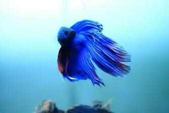 Nature Lover Betta Fish