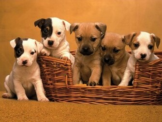 Jack Russell Cute Puppies Dogs Wallpapers