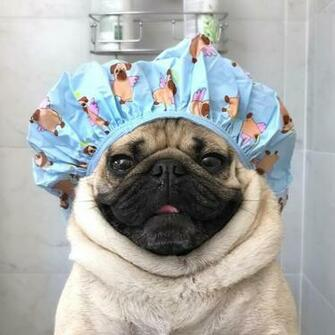 Doug The Pug no Instagram Save water shower with a pug
