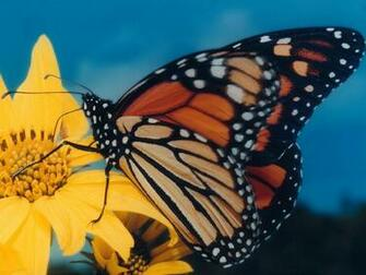 Monarch butterfly wallpaper Amazing Wallpapers