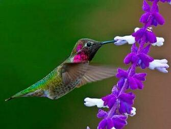 bird desktop wallpapers humming bird backgrounds humming bird desktop