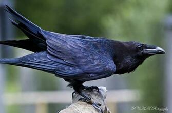 Pin Raven Bird