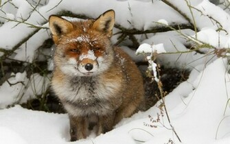 Winter wallpaper with a red fox near his hole HD animals wallpapers
