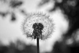 Dandelion Black And White Wallpaper Dandelion in black and white